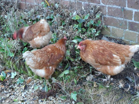 My girls, chooking about like chickens do