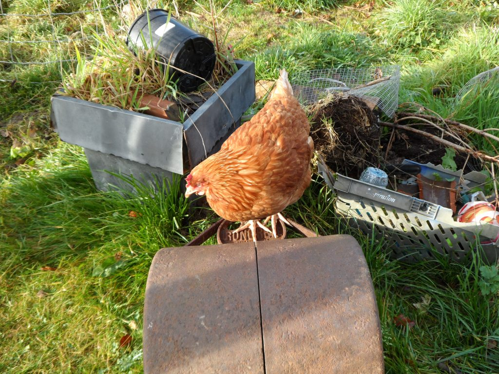 Tommy doesn't lay eggs. She just chooks about and annoys Hector and Achilles