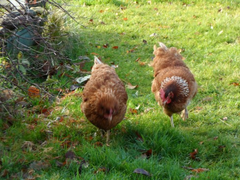 Chickens on a mission