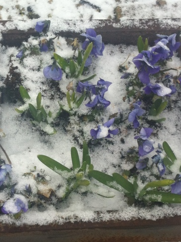 Spring flowers poking through the snow