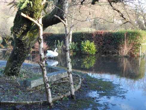 Swan pond instead of garden
